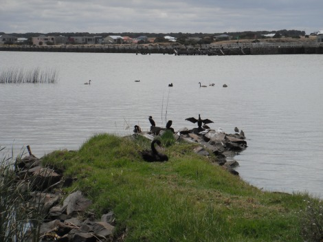 Black swans at Goolwa.