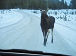 moose, snow, canmore, dogsledding