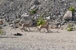 peyto lake, jasper, icefields parkway, hwy 93, wildlife, goat, baby animal, travel, road trip, sight seeing