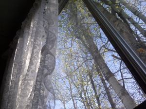 poplar trees, early morning sunshine, 530 am, window