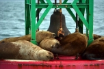 Sea lions just chillin'