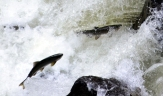 Salmon running in Ketchikan Creek, Ketchikan, Alaska