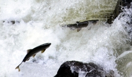Salmon running in Ketchikan Creek, Ketchikan, Alaska